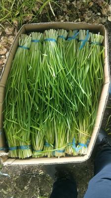 吉林省长春市绿园区白根蒜苗 40 - 45cm