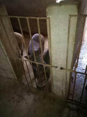 安徽省六安市霍邱县特种野猪  140斤以上 统货 要肉也可以可以,