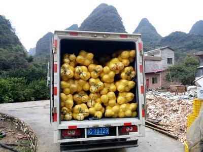 广西壮族自治区桂林市灵川县沙田柚 1.5斤以上