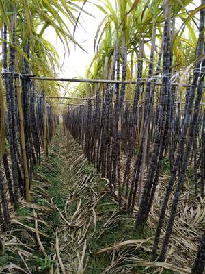这是一张关于黑皮甘蔗 4 - 5cm 2.5 - 3m 的产品图片