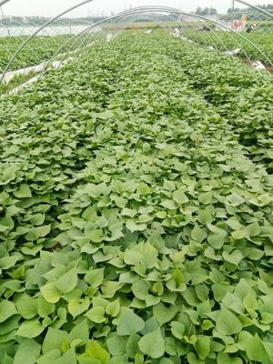 山东省东营市广饶县龙薯9号红薯苗 25~35cm