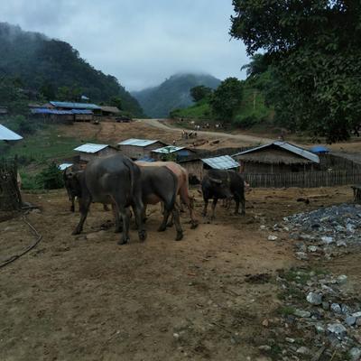 浙江省衢州市衢江区原生态黄牛 600-800斤 公牛