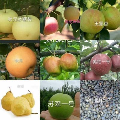山东省泰安市岱岳区玉露香梨树苗 1~1.5米