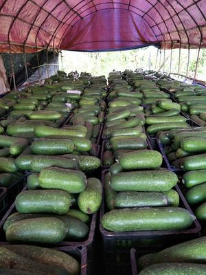 云南省西双版纳傣族自治州勐腊县早熟嫩冬瓜 2~6斤 吊冬瓜