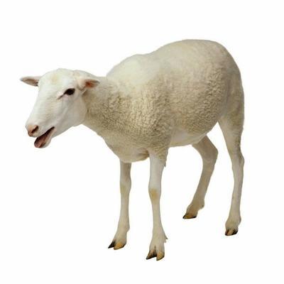 内蒙古自治区兴安盟科尔沁右翼前旗内蒙古绵羊 80-110斤