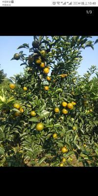 这是一张关于巴西柑 5.5 - 6cm 1.5 - 2两 的产品图片