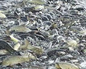 湖北省荆门市沙洋县池塘草鱼 人工养殖 1.5-6公斤