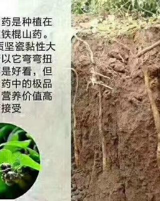 河南省焦作市博爱县铁棍山药 50~70cm