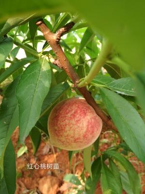 湖南省长沙市宁乡县红心桃树苗 1~1.5米