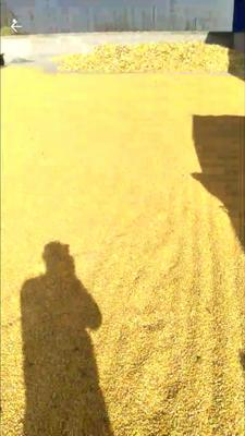 甘肃省白银市靖远县玉米湿粮 杂质很少 水份14%-16%