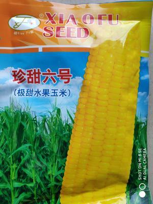 江苏省宿迁市沭阳县极甜开元棋牌平台玉米种子 单交种 ≥85%