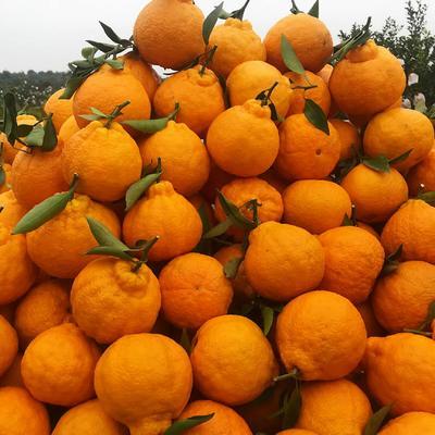 这是一张关于不知火  统货 1.5 - 2两 丑桔五斤大果的产品图片