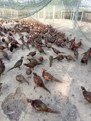 山东省济宁市嘉祥县尼古拉火鸡 15-20斤