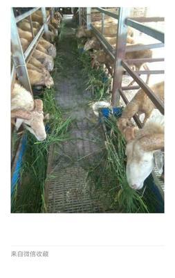 安徽省池州市东至县小尾寒羊 30-50斤