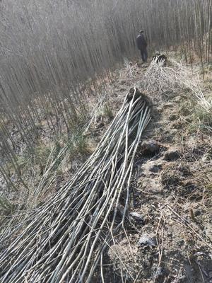 这是一张关于美国竹柳 的产品图片