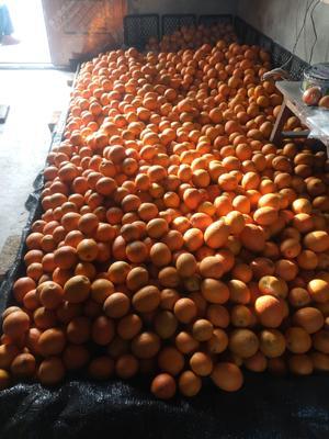 这是一张关于锦橙100号 65 - 70mm 4-8两 的产品图片
