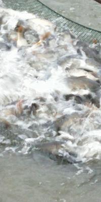 贵州省毕节市金沙县池塘鲤鱼 人工养殖 0.5公斤