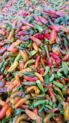 这是一张关于芜湖椒 10~15cm 中辣 彩色 的产品图片