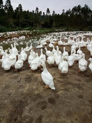 这是一张关于白鸭 7-8斤 统货 半圈养半散养 的产品图片