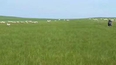 内蒙古自治区锡林郭勒盟锡林浩特市锡盟草原羊  30-50斤 可根据顾客要求选购