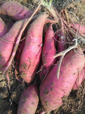 河南省许昌市禹州市红薯种 ≥99.5% ≥90% 常规种(一级)