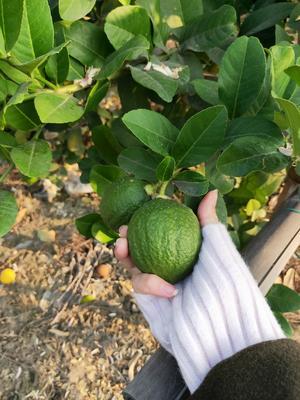 广东省广州市南沙区香水柠檬 2.7 - 3.2两