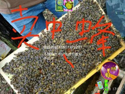 广西壮族自治区钦州市灵山县中蜂