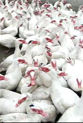 宁夏回族自治区银川市金凤区白番鸭 8-9斤 统货 全散养