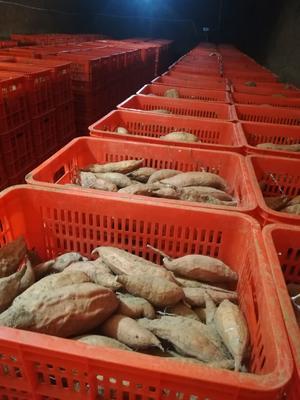 河北省邢台市沙河市烟薯25 混装通货 黄皮