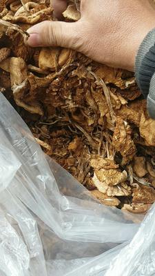 福建省宁德市古田县干茶树菇 袋装 1年