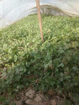 河北省邯郸市大名县铁杆青香菜 20~25cm