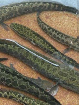 四川省南充市阆中市野生黑鱼 人工养殖 1.5-2.5公斤