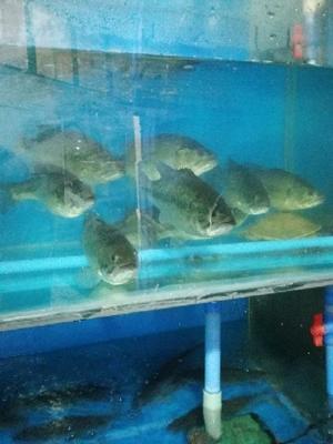 这是一张关于淡水鲈鱼 人工养殖 1-1.5公斤 的产品图片