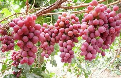 新疆维吾尔自治区博尔塔拉蒙古自治州博乐市红提 2斤以上 10%以下 1次果