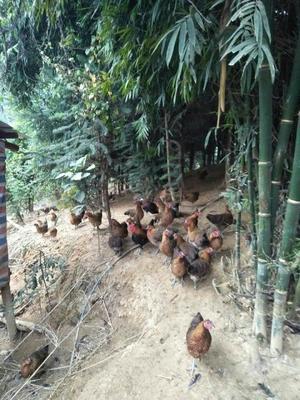 广西壮族自治区河池市凤山县土鸡 2-3斤 母
