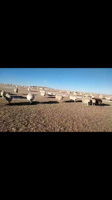 内蒙古自治区锡林郭勒盟锡林浩特市锡盟草原羊  30-50斤 锡盟草原散养白条羊