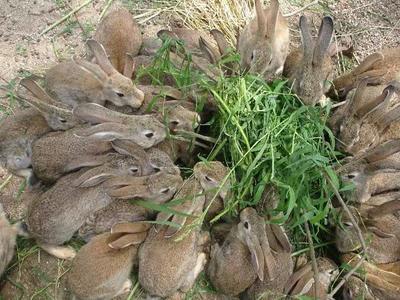 安徽省安庆市桐城市杂交野兔 3-5斤