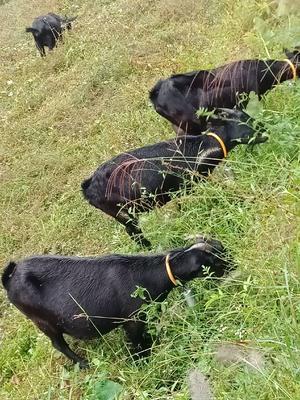 湖南省长沙市浏阳市黑山羊 50-80斤