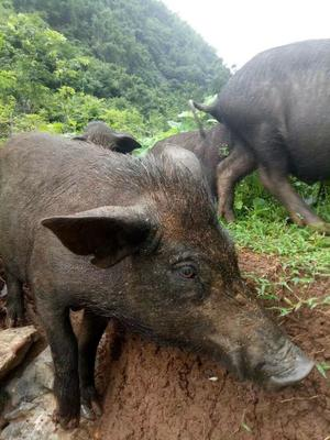 广西壮族自治区桂林市恭城瑶族自治县野香猪 40-60斤