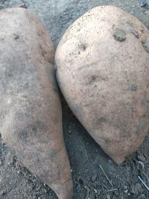 山东省淄博市博山区黄心红薯 6两~1斤 黄皮