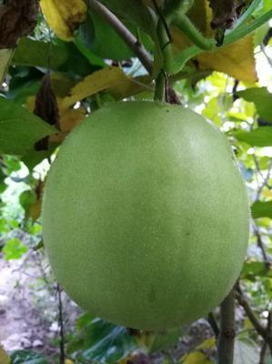 山东省济南市历城区香芋冬瓜种子 种子