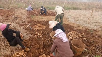 云南省红河哈尼族彝族自治州蒙自市小黄姜 混装通货 带土