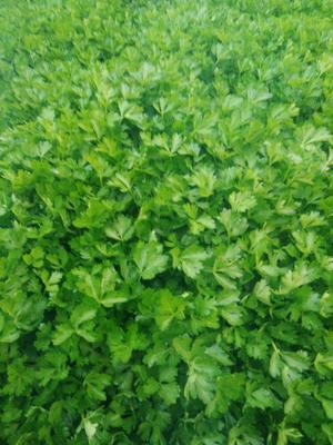 这是一张关于西芹种子 大田用种 ≥95% 散装 的产品图片