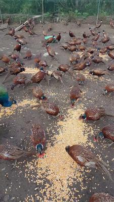 重庆南川区野山鸡 2-3斤