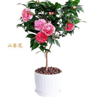 山东省临沂市平邑县山茶花 30~50cm