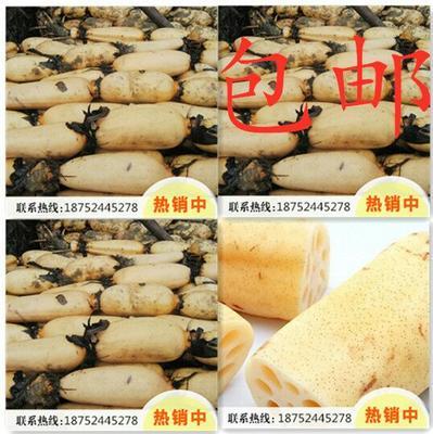 这是一张关于塘藕 5~10cm 13-15cm 的产品图片
