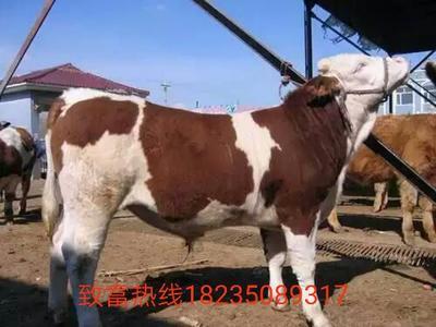 山西省忻州市定襄县西门塔尔牛 200-300斤 母牛