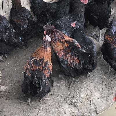 四川省宜宾市兴文县山地乌骨鸡 4-5斤