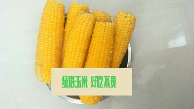辽宁省沈阳市铁西区甜糯玉米 去壳 甜糯