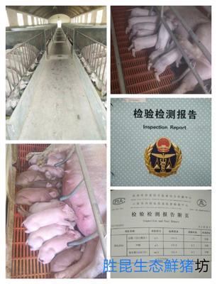 云南省曲靖市麒麟区杜洛克猪 120斤以上